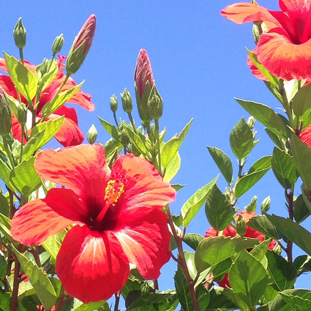 High on Hibiscus